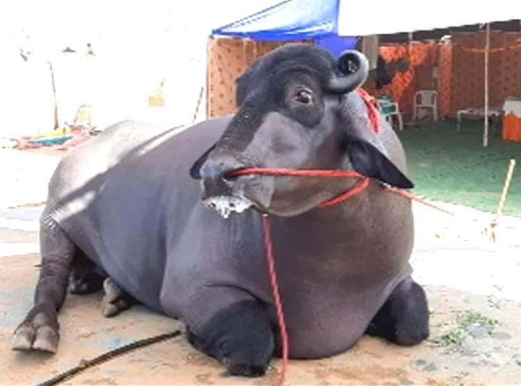 దున్నపోతు ఖరీదు 14 కోట్లు…మ్యాటర్ తెలిస్తే షాకే..!!