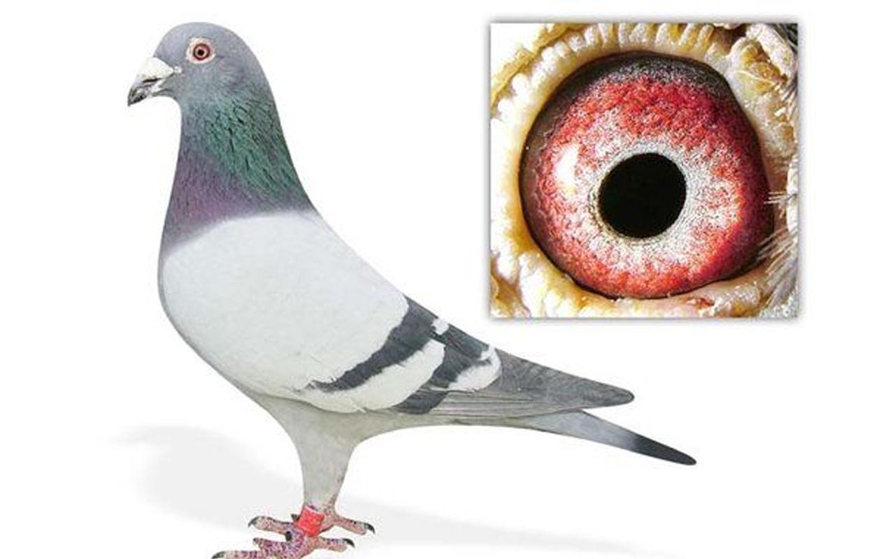 word record Belgian pigeon